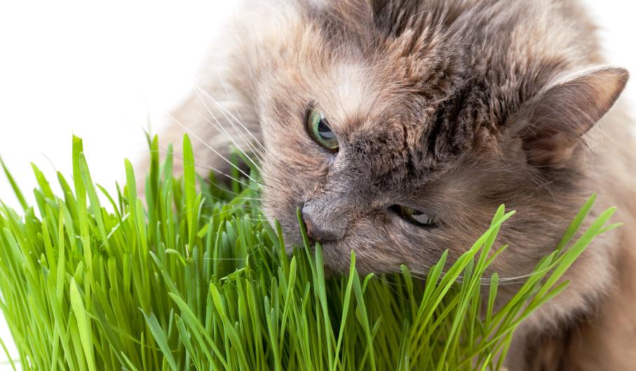 Bạn đã bao giờ nghe tới cỏ bạc hà mèo chưa? Đây được cho là một loại thảo mộc có nhiều tác dụng tích cực cho thú cưng của bạn.