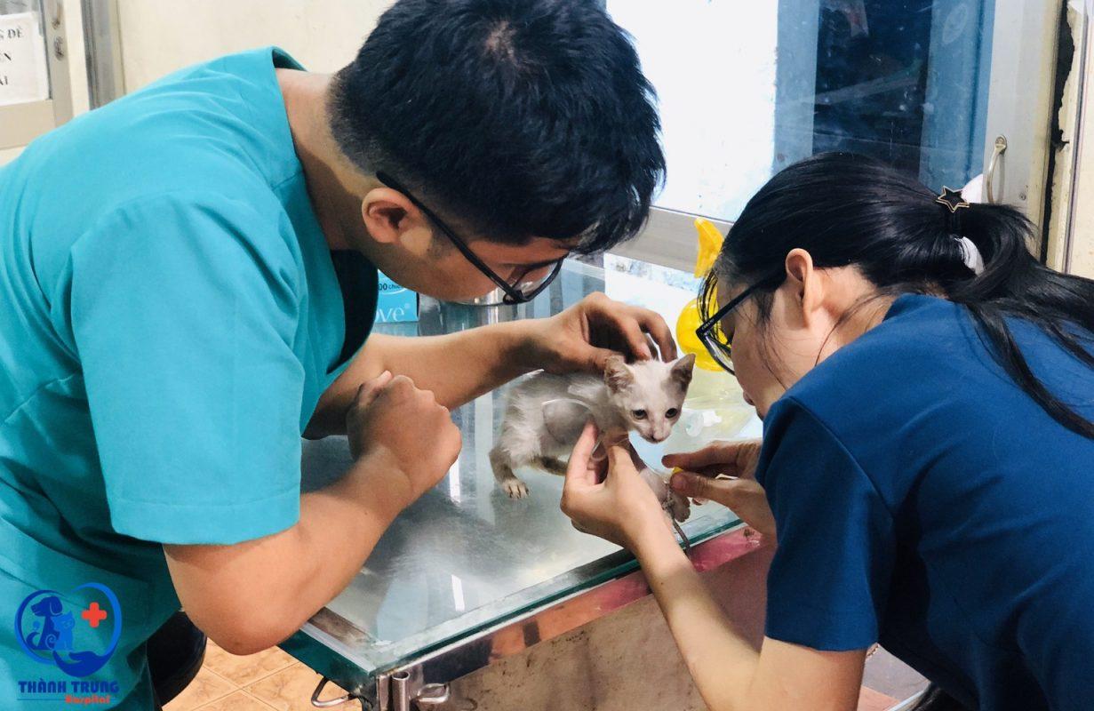 Hình ảnh các bác sỹ phòng khám thú y Thành trung đang kiểm tra sức khoẻ bé mèo