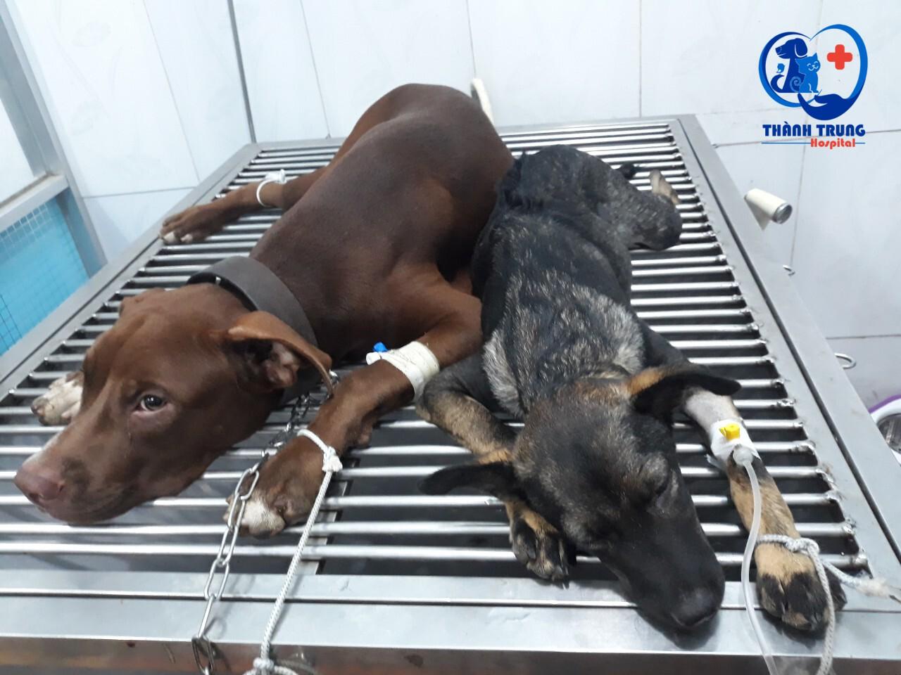 Hình ảnh bé cún được bác sỹ điều trị tại phòng khám thú y Thành Trung
