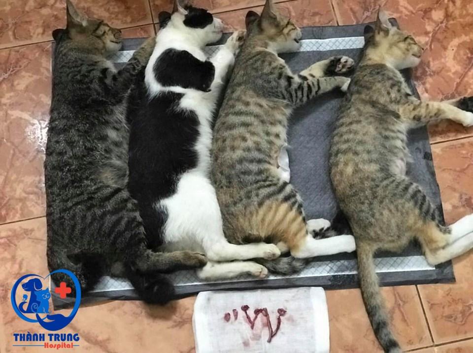 Bốn chú mèo được chủ đưa đến Phòng khám thú y Thành Trung để triệt sản
