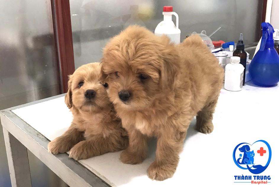 2 bé poodle chuẩn bị được tiêm vacxin tại phòng khám thú y thành trung