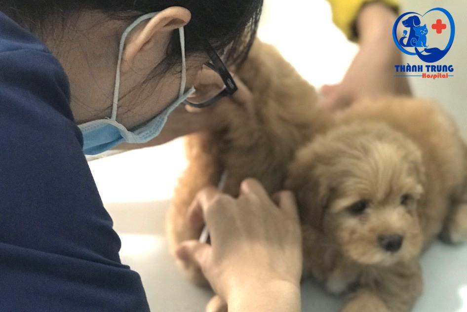 Tiêm vacxin cho 2 bé poodle tại phòng khám thú y Thành Trung