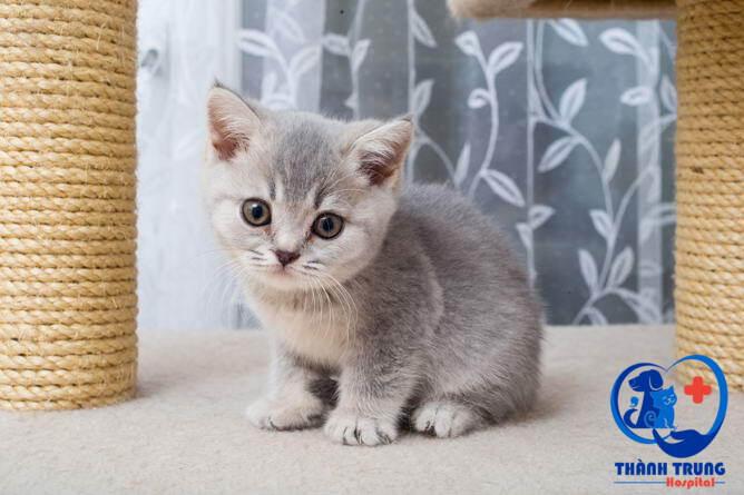 Màu lông mèo Anh lông ngắn là đặc điểm của giống mèo ALN được nhiều người coi là điểm quyết định để xem xét, lựa chọn khi mua.