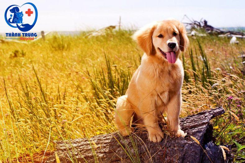 Golden là một giống cho thông minh, thân thiện trung thành