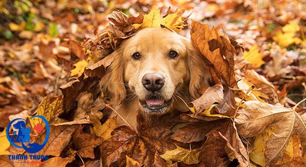 Giới thiệu tất tần tật về giống chó golden