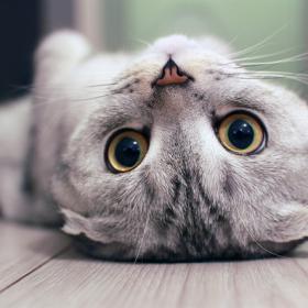 Tai mèo Anh lông ngắn là một bộ phận quan trọng để phân biệt giữa giống lai và giống thuần chủng.