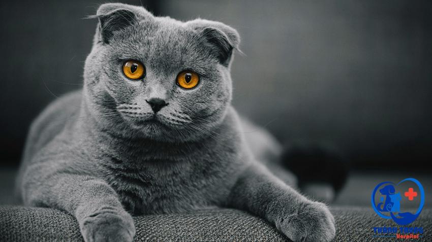 Những em mèo Anh lông ngắn đã và đang chinh phục rất nhiều người yêu mèo nhờ vẻ ngoài khỏe khoắn, đáng yêu và tính cách thân thiện.