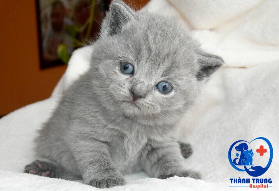 Mèo Anh lông ngắn là giống mèo có nguồn gốc từ Ai Cập cổ đại