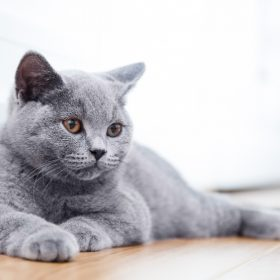 """Vậy bạn có từng hỏi """"giống mèo ALN có gì đặc biệt mà ai yêu thú cưng cũng ưu ái chúng?"""" chưa?"""