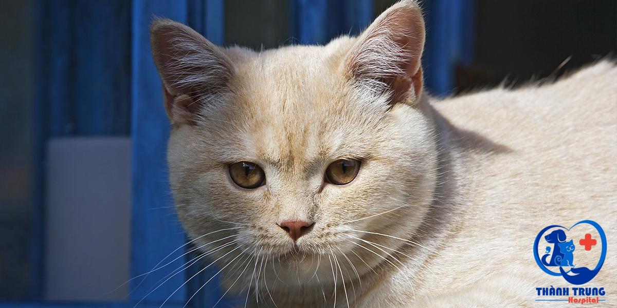 Để sở hữu một em mèo ALN thuần chủng khỏe đẹp, bạn nên biết về tất cả những màu lông của giống mèo này.