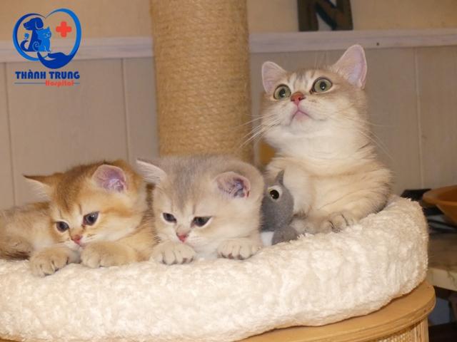 màu lông mèo Anh lông ngắn rất đa dạng, phong phú, nhiều khi khiến chúng dễ bị nhầm lẫn với các giống mèo khác.