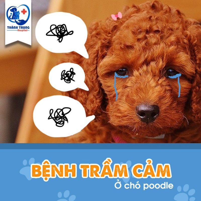 bệnh trầm cảm ở chó Poodle