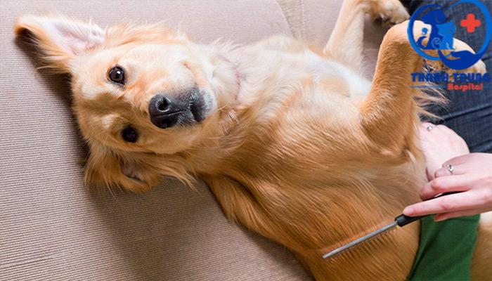 Chải lông bằng lược loại bỏ bọ chét chó