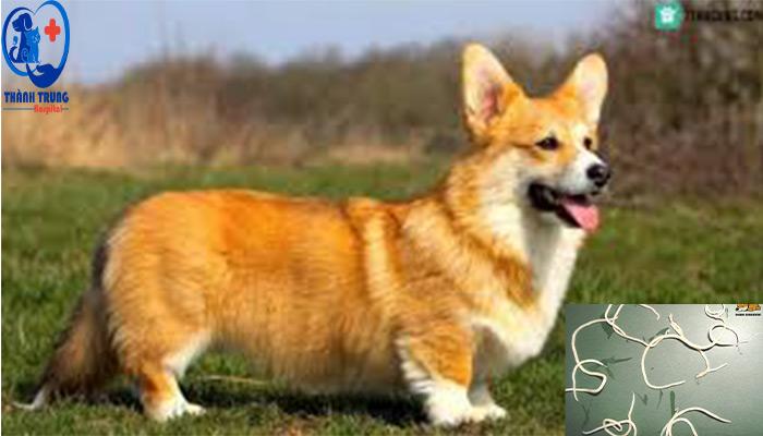 Chó-cưng-dễ-bị-nhiễm-giun-sán